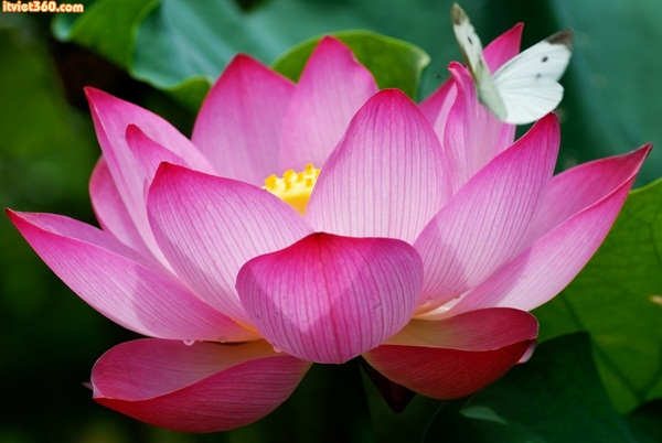Hình ảnh hoa sen đẹp - ý nghĩa của hoa sen