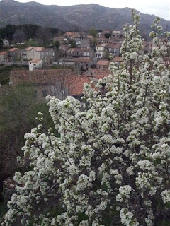 poirier fleuri à Aullène en Alta Rocca
