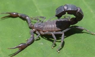 Escorpión o alacrán de perfil