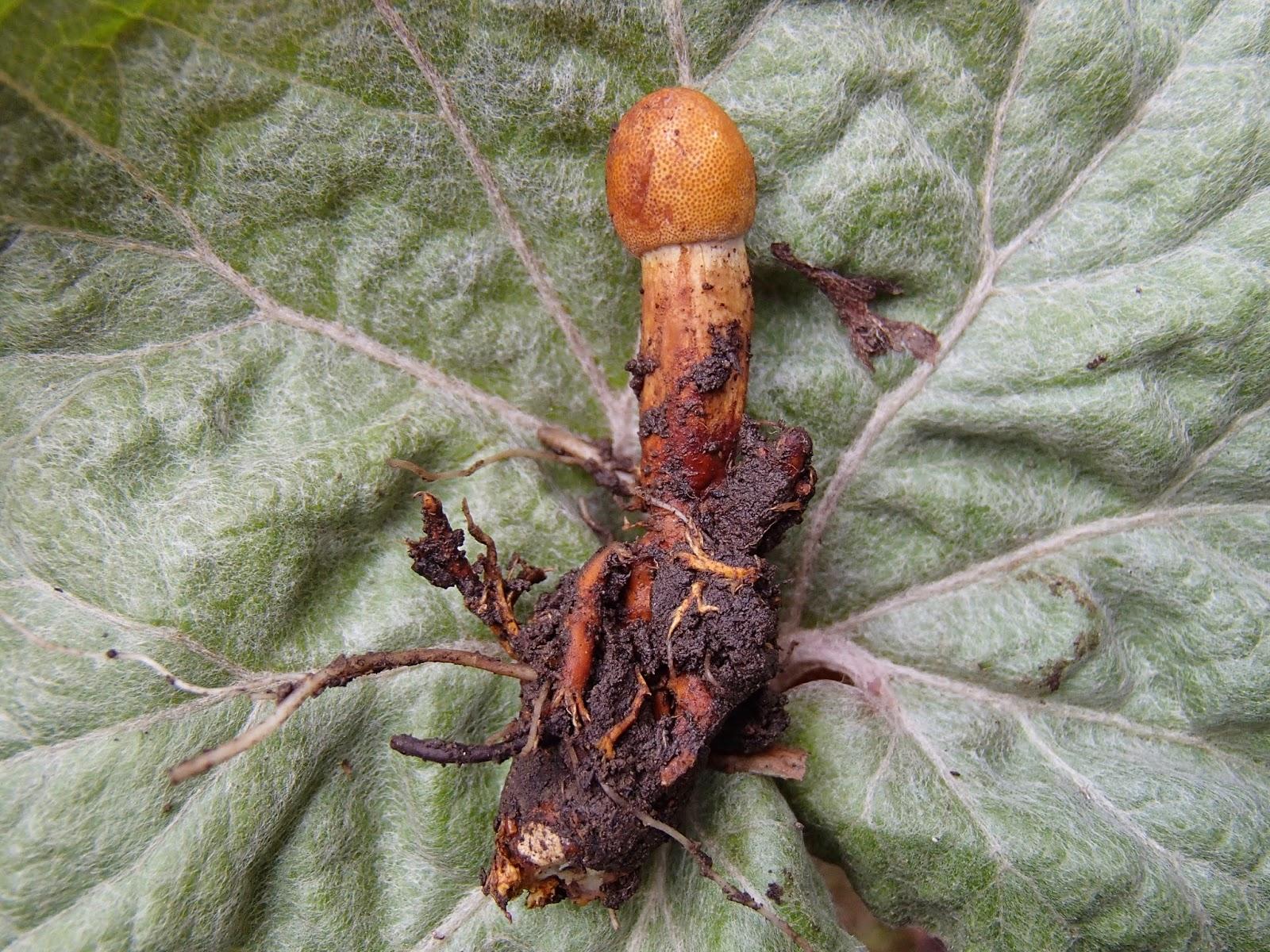 Orawa, grzyby, maczużnik wysmukły Ophiocordyceps gracilis