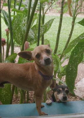 Chihuahuas, La Ceiba, Honduras