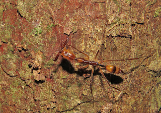 Odontomachus sp.,