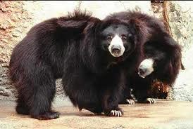 Bear Sloth