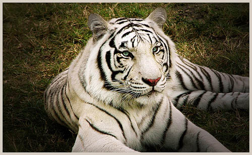 wallpaper white tiger. cute white tiger wallpaper.