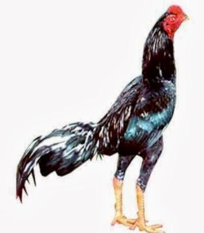 gambar ayam jago bangkok