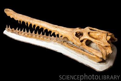 Dyrosaurus skeleton