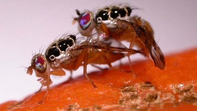 mosca modificada geneticamente,