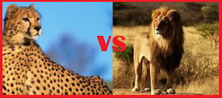 Male Lion Kills 2 Cheetahs, lion, cheetah, fight, animals