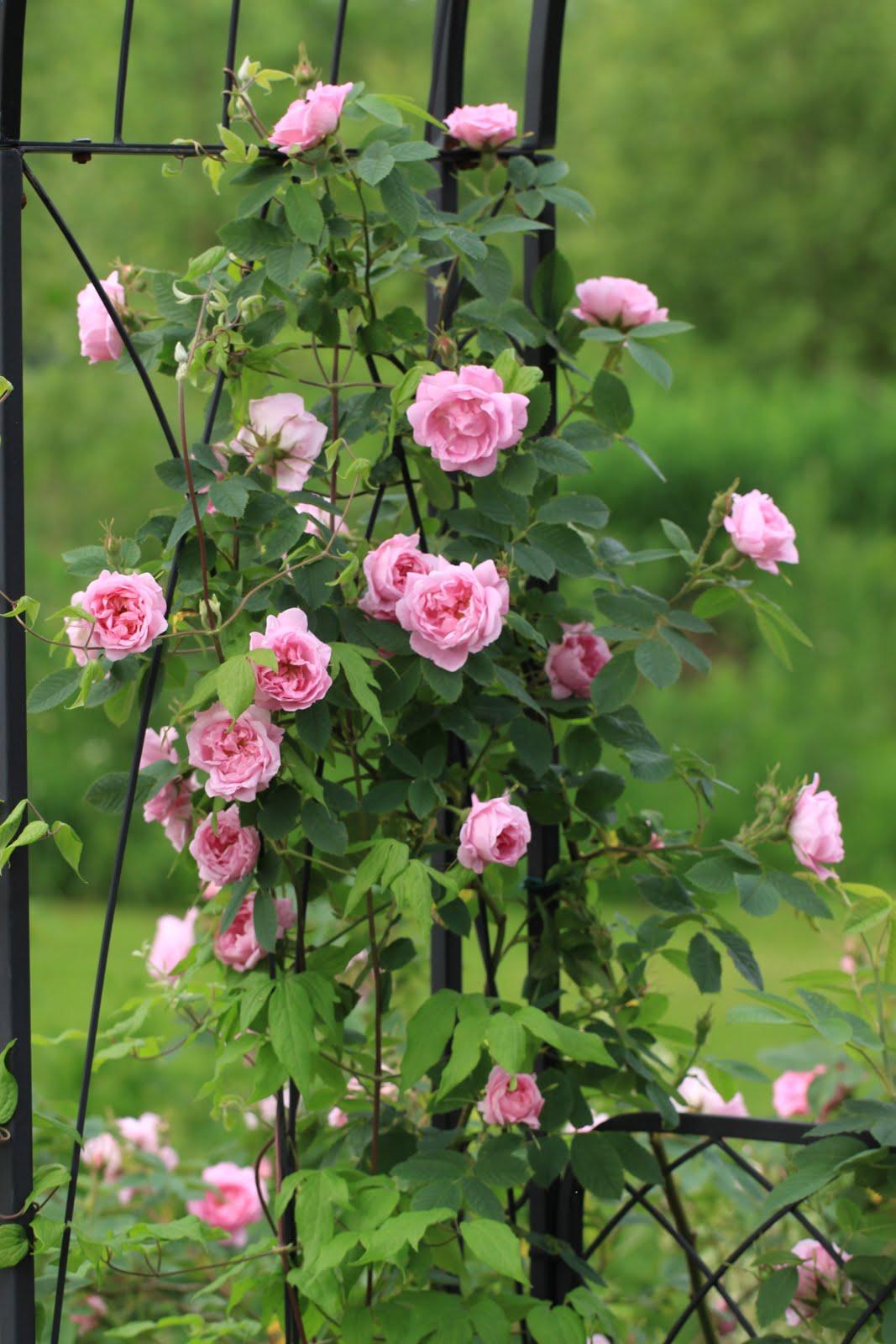 Ruusunmekko-blogi