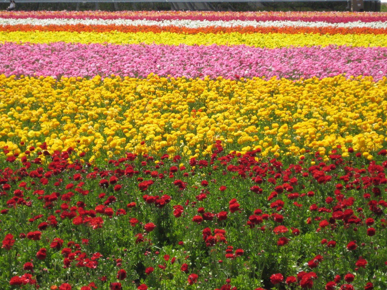 leenie world flower fields Carlsbad