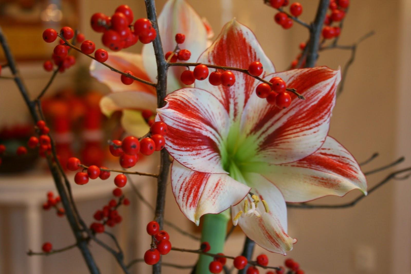 Amaryllis 'Ambiance' Ilex verticillata