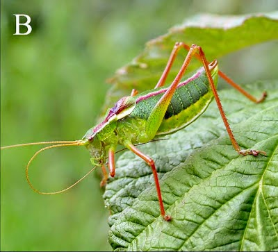 http://sciencythoughts.blogspot.co.uk/2012/10/new-species-of-bush-cricket-from.html