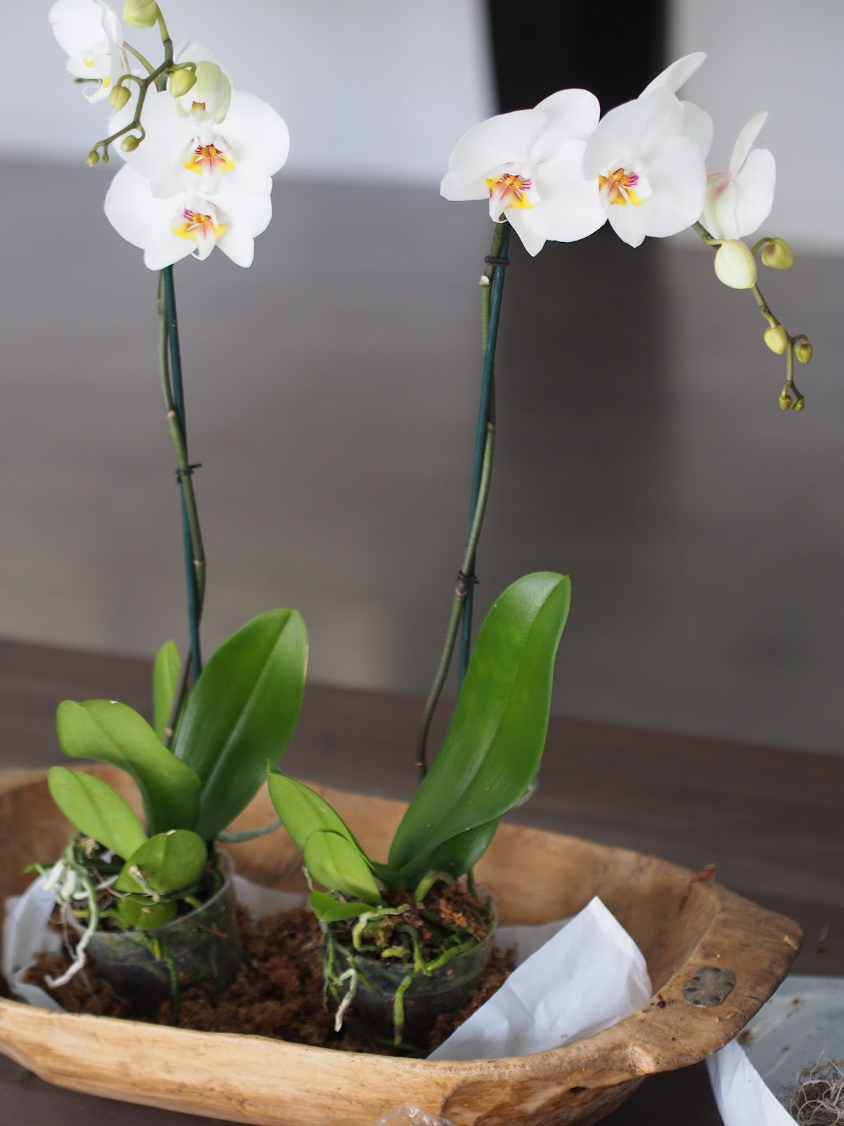Typical domestic babe how to potted orchids displayed in a dough bowl - How to care for potted orchids ...