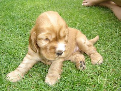 Cocker Spaniel Puppy Pictures