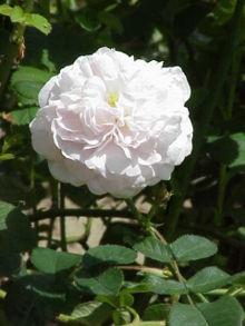 mawar_putih_alba