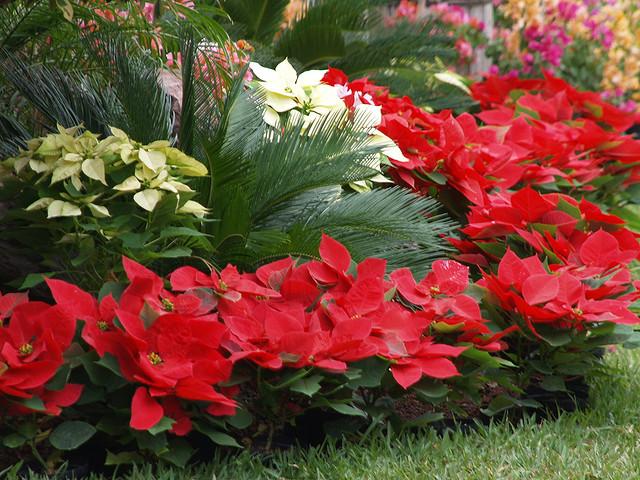 El espiritu de las plantas Poinsettia o Flor de Pascua