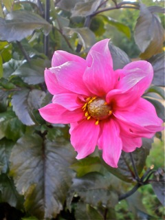 &#39;Fascination&#39; Dahlia