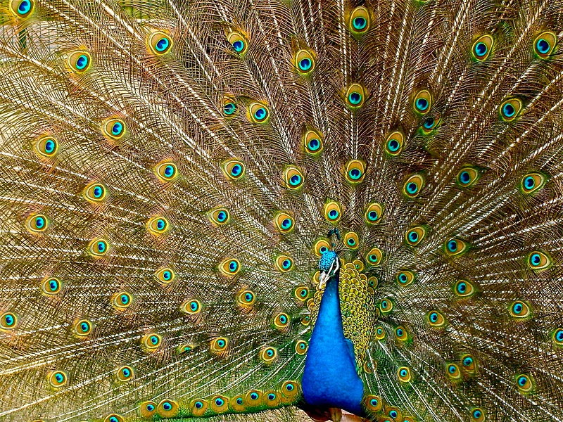 information about indian peacock Most people use term peacock to describe both male and female birds, but peacock is actually a name that refers to male peafowl peafowl belong to pheasant family these birds are native to asia there are two species of peafowl: indian peafowl and green peafowl both types are endangered because of the habitat loss, smuggling and predation.