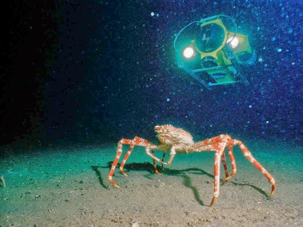 criaturas marinas cangrejo araña gigante