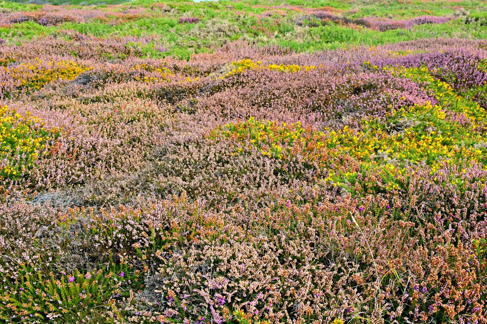 Heath on Tresco Isles of Scilly