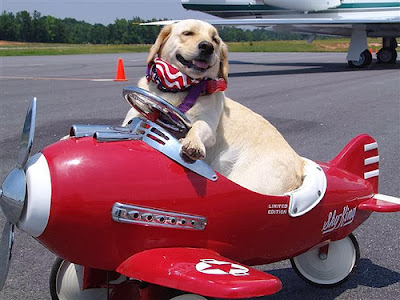 Dog in a Toy Plane