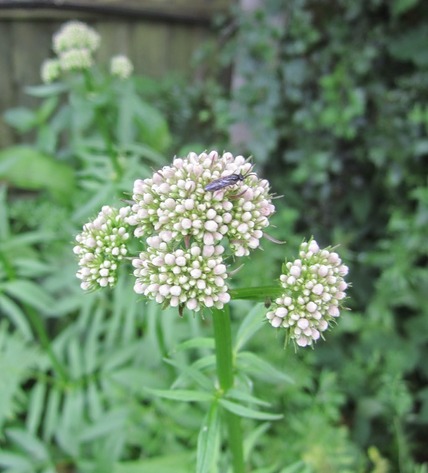 Valerian flower buds
