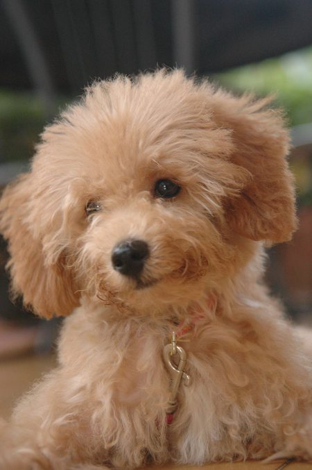 Dogs|Pets: Cute Coffee Poodle Puppy PicturesSweet and lovely Puppies