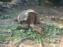 zadelschildpad