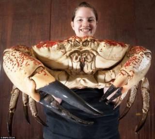 Tasmanian King Crab, Kepiting Raksasa Dari Australia