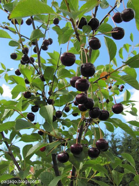 kesän loppu: suklaakirsikka