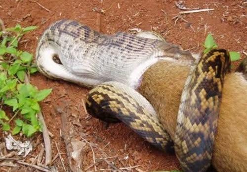 Giant snake eating hippo - photo#20