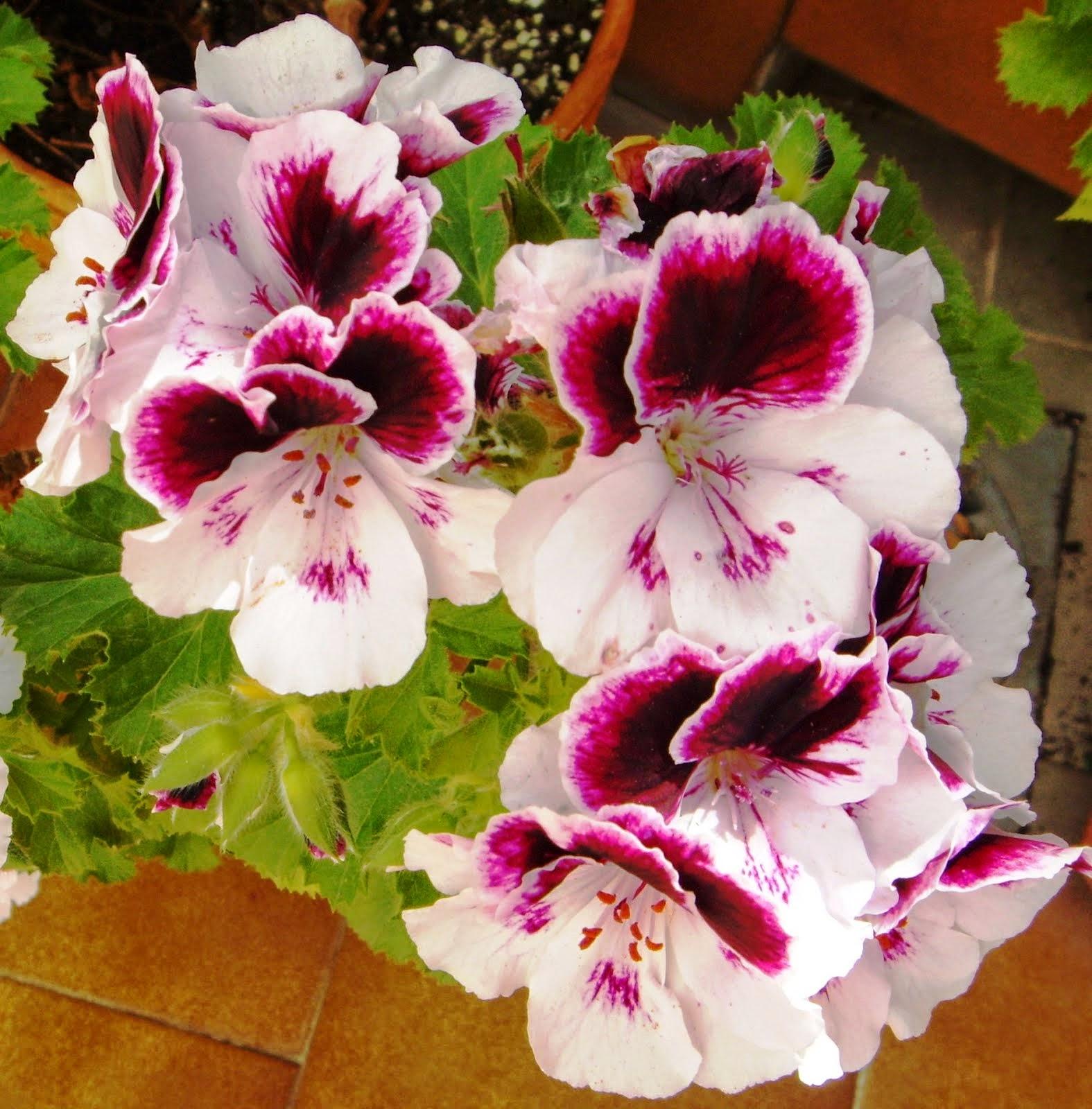 blancas y rosas