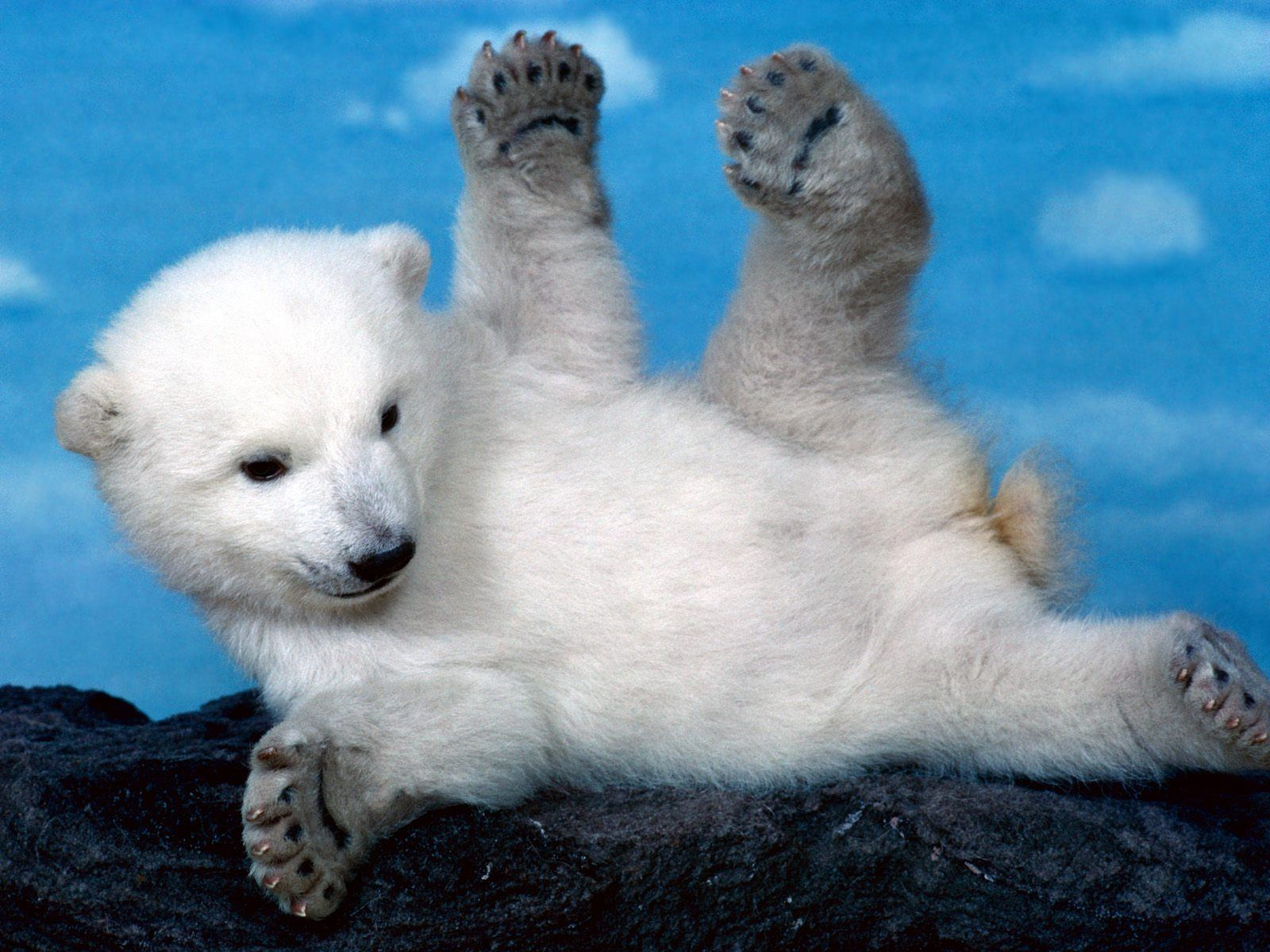 http://2.bp.blogspot.com/-QSg2tHPh_WU/T4adwZth5xI/AAAAAAAAAEs/ezbiCM24Bik/s1600/White+Polar+Bear+Cub.jpg
