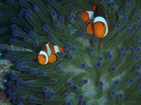 Nemo In Amed