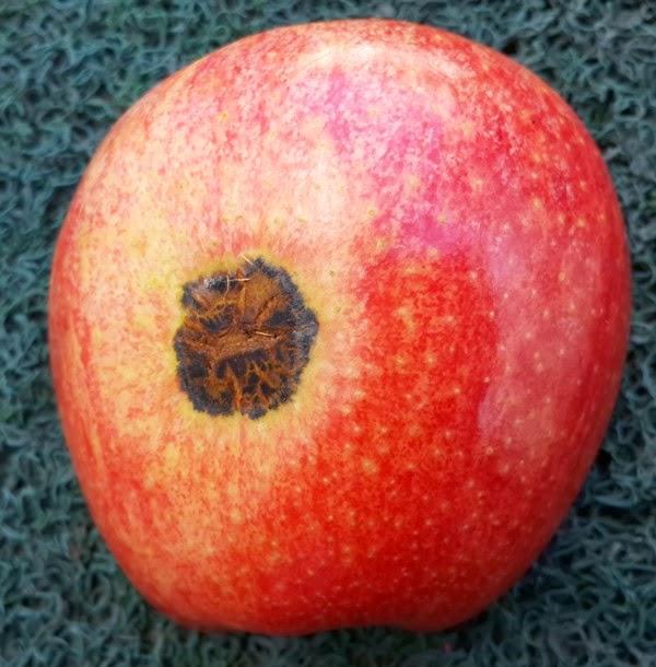 Fruto atacado pela sarna de verão