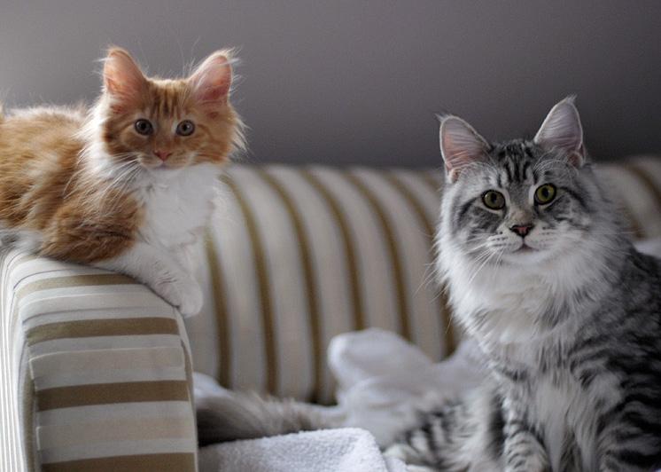 les chats le main coon. Black Bedroom Furniture Sets. Home Design Ideas