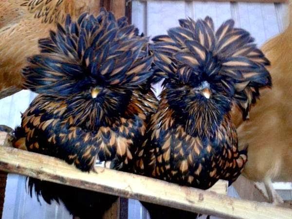 مدهش: تابعوا الصور لدجاج متانق وجذاب!