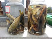 . じゃこ(ブリの稚魚)も多数採集できました(画像)。