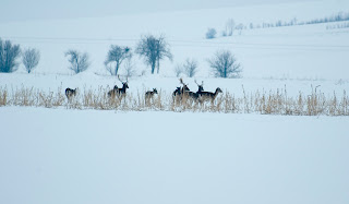 Cerbul lopatar wild photography Romania