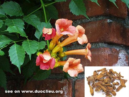 Campsis flower (Lingxiaohua)