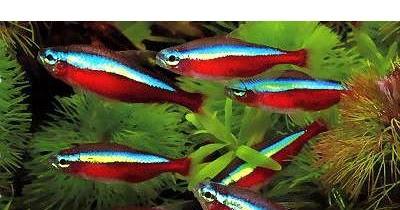 Tipos de peces peces de agua fr a for Variedades de peces de agua fria para acuario