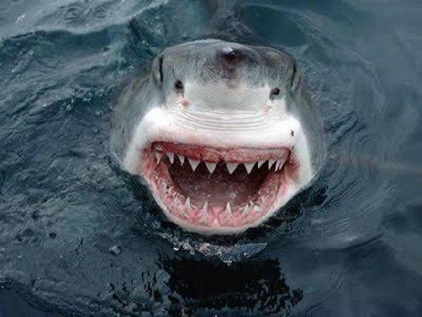 Ikan jerung senyum