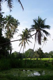 memagar kelapa condong