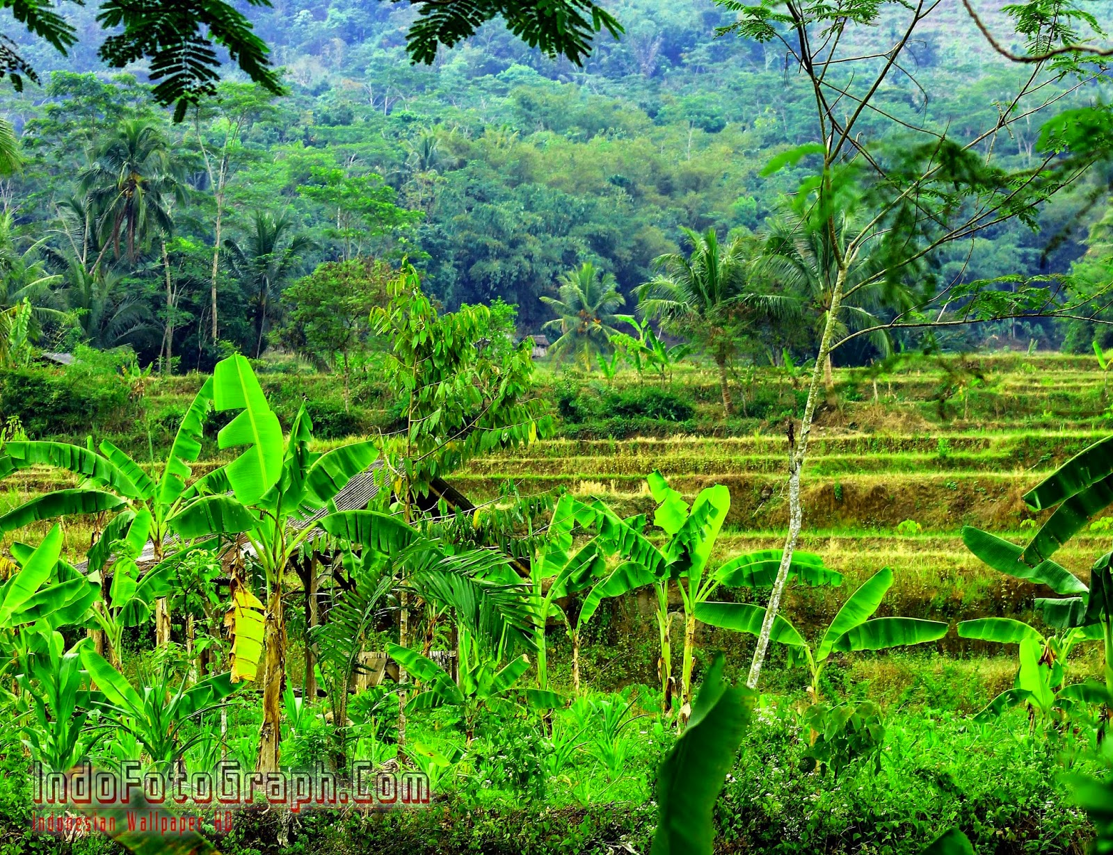 Download Wallpaper Alam Pohon Pisang