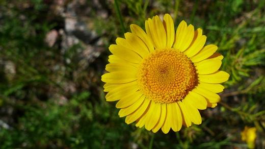 Färgkulla - Anthemis tinctoria