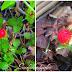 Morango Selvagem, flor de maçã e de macadâmia