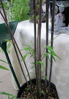 Bamboo Creations Victoria potted bamboo plant