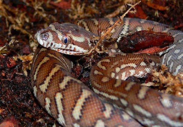 Bredl's Python Snake Morelia Bredli