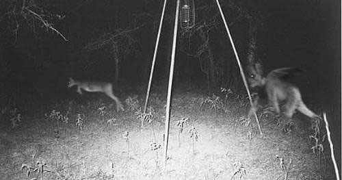 Creepy thing hunting deer. Urban myth.
