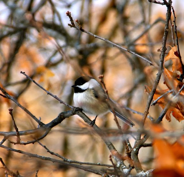 chickadee awaiting turn at feeder